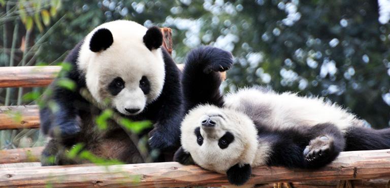 Chengdu : la ville des pandas géants